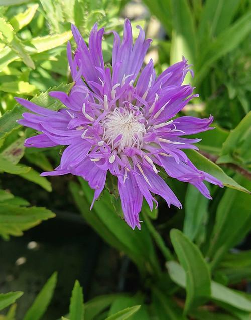 Stokesia laevis 'Blue Star'