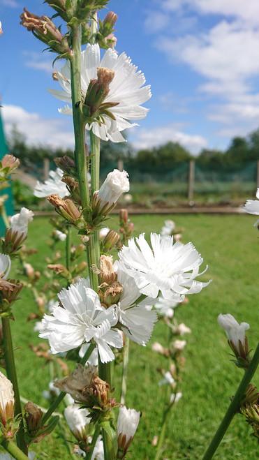 Cichorium intybus f. alba (WhiteChicory)