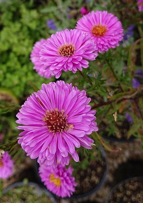 Aster novi-belgii 'Patricia Ballard'  from Shire Plants