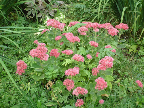 Sedum spectabile 'Autumn Joy' (Hylotelephium)