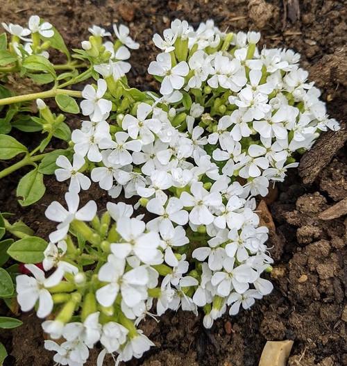 Mazus reptans 'Alba' (White Chinese Marshflower)