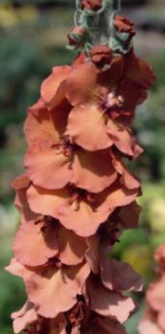 Verbascum 'Helen Johnson'
