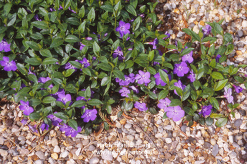 Vinca minor 'Bowles Purple'