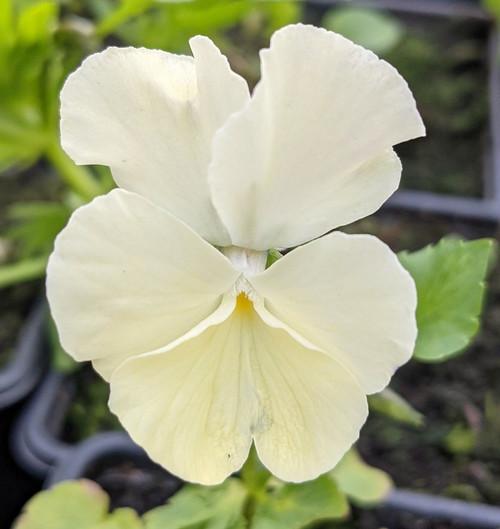 Viola 'Ivory Queen'