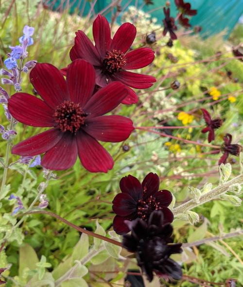 Cosmos atrosanguineus (Chocolate Flower)