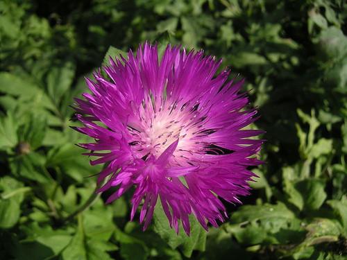 Centaurea dealbata (Cornflower)