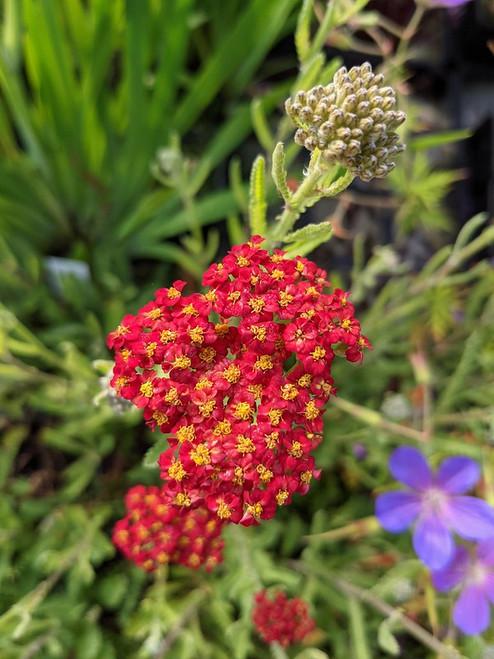 Achillea millefolium 'Fanal'
