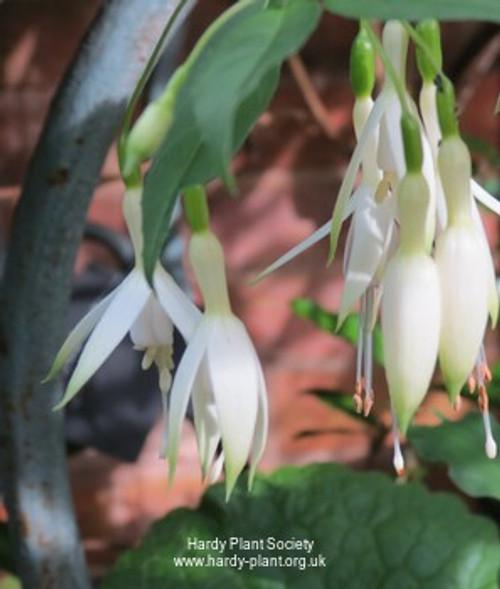Fuchsia 'Hawkshead' (Hardy Fuschia)
