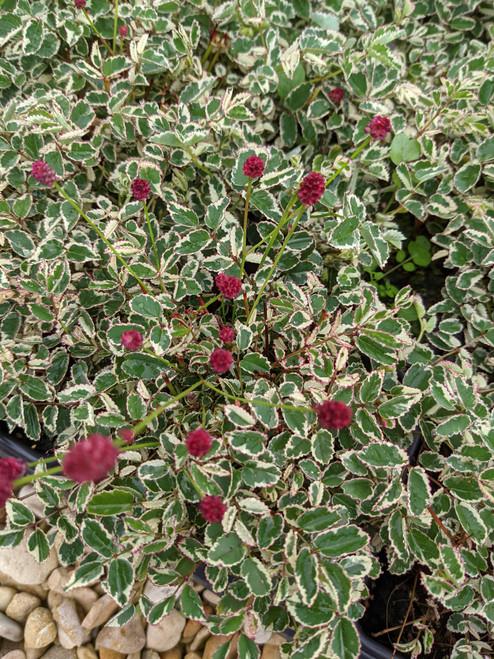 Sanguisorba officinalis 'Little Angel'