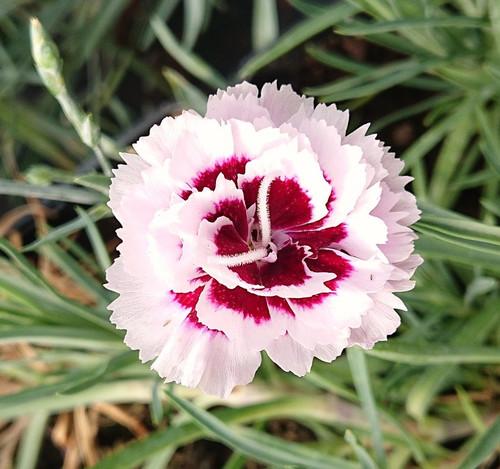 Dianthus 'Mrs Macbride'
