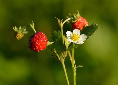 Fragaria vesca (Alpine Strawberry)