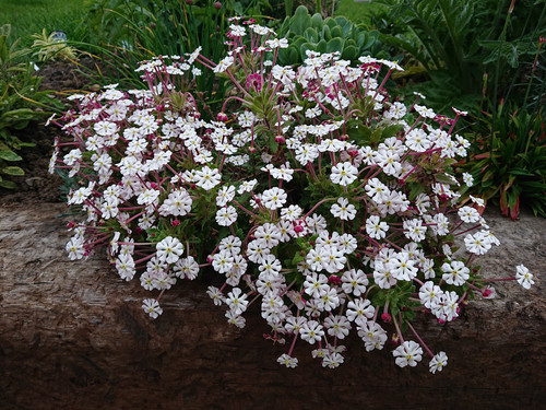 Zaluzianskya ovata (night scented phlox)