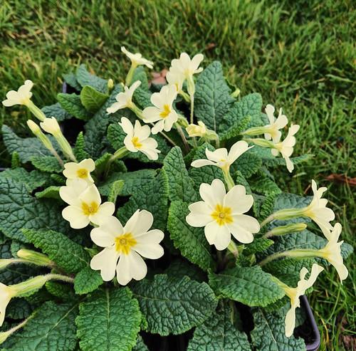 "Primula ""wanda' autumn//spring cerise flowering bronze foliage evergreen BAREROOT"