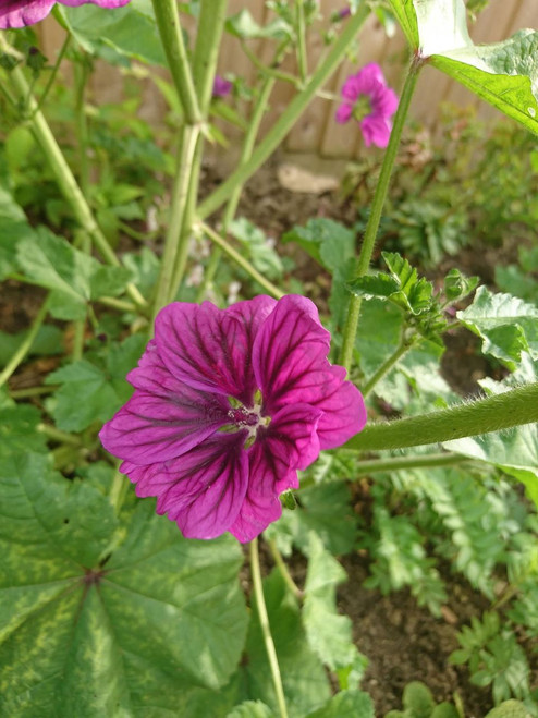 Malva sylvestris 'Windsor Castle'