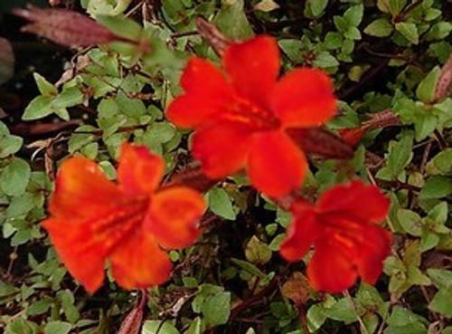 Mimulus cupreus 'Whitecroft Scarlet'
