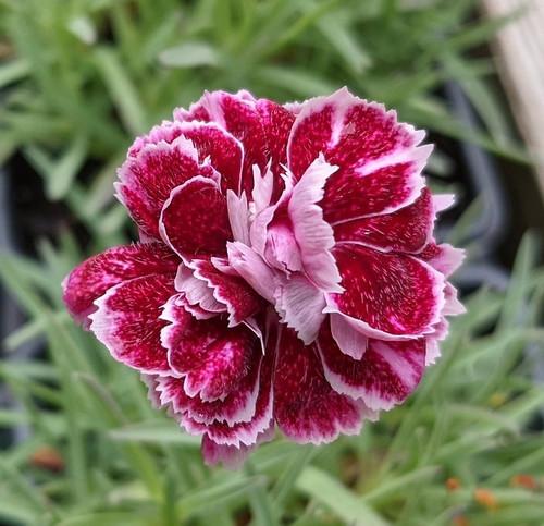 Dianthus 'Whatfield Gem'