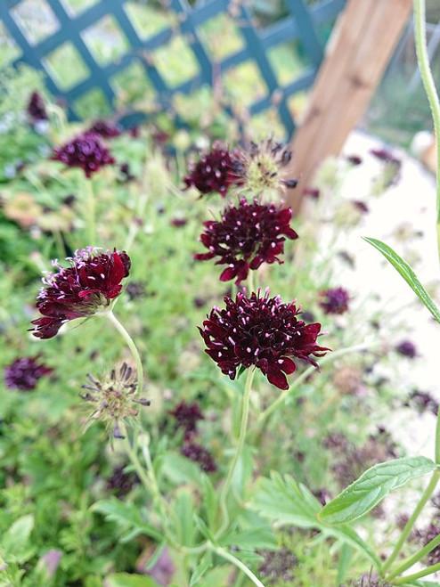 Scabiosa atropurpurea 'Chile Black' (syn: Scabiosa caucasica 'Chile Black')
