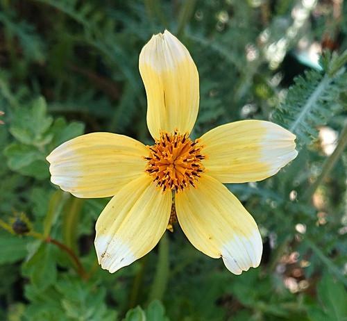 Bidens aurea 'Hannay's Lemon Drop'