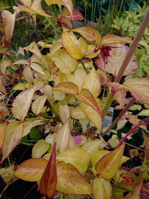 Leycesteria formosa 'Gold Leaf'