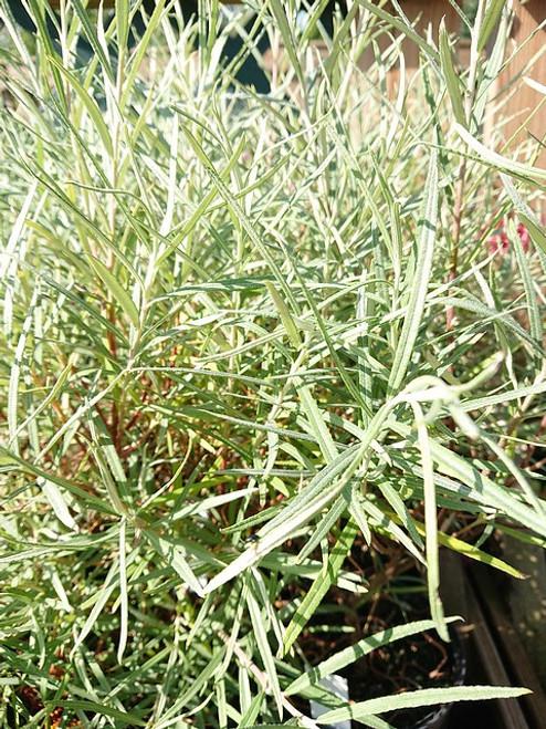 Salix elaeagnos (syn: Salix elaeagnos subsp. angustifolia)