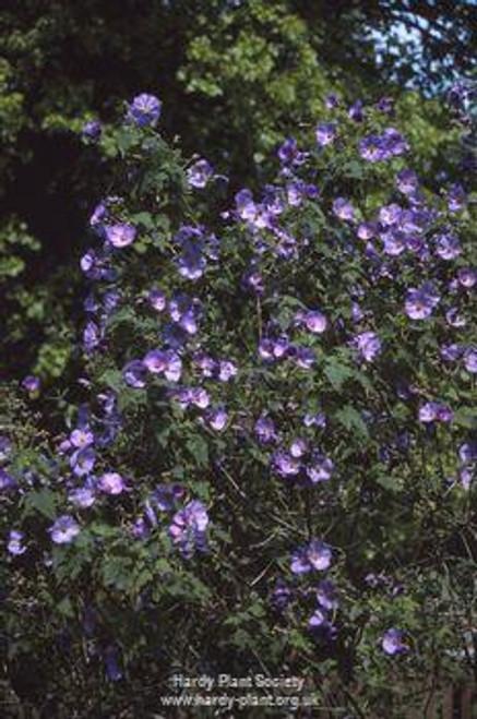 Abutilon × suntense