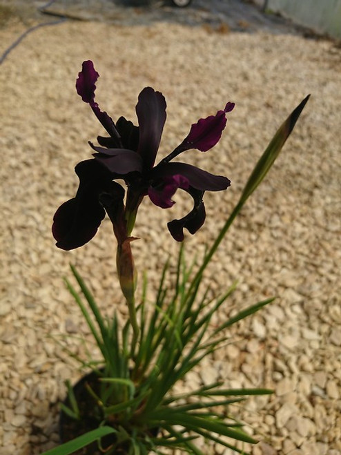Iris chrysographes 'Black Form'