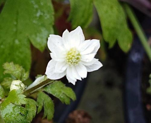 Anemone stolonifera 'Flore Pleno'