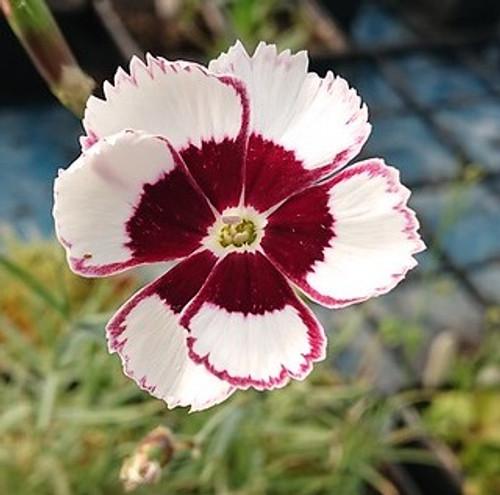 Dianthus 'Argus'