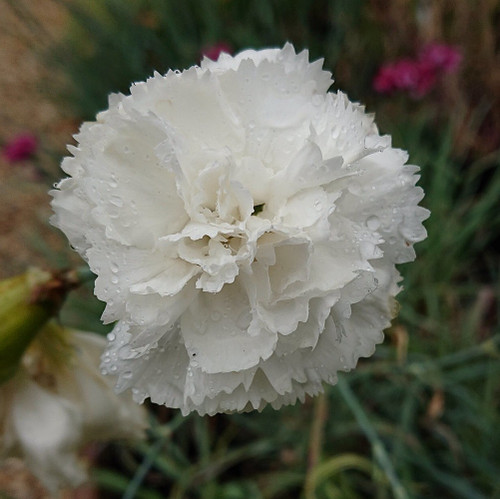 Dianthus 'Haytor' (syn: Dianthus 'Haytor White')