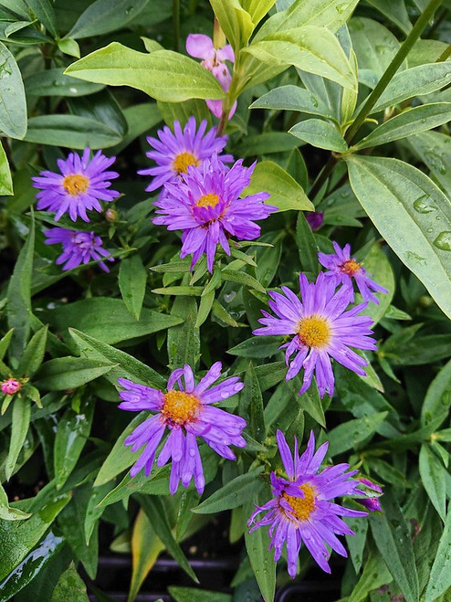 Aster novi-belgii 'Lady in Blue'