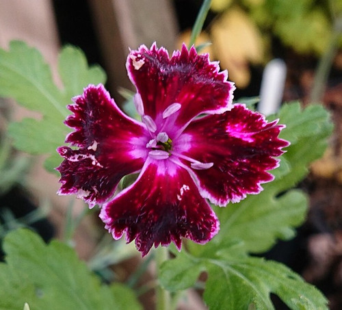Dianthus 'Unique'
