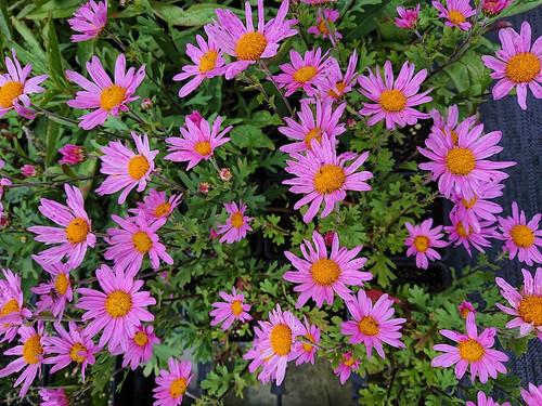 Chrysanthemum 'Clara Curtus'