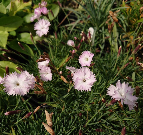 Dianthus 'Whatfield Wisp'