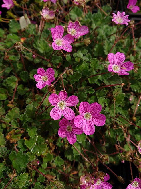 Erodium × variabile 'William Bishop' (Syn: 'Bishop's Form')