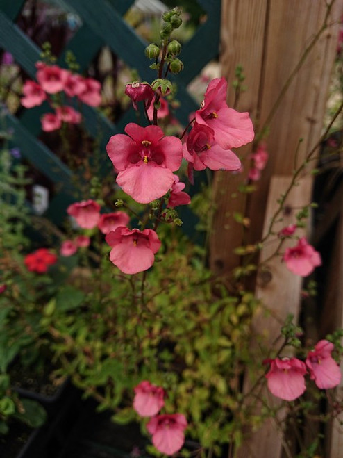 Diascia barbarae 'Ruby Field'
