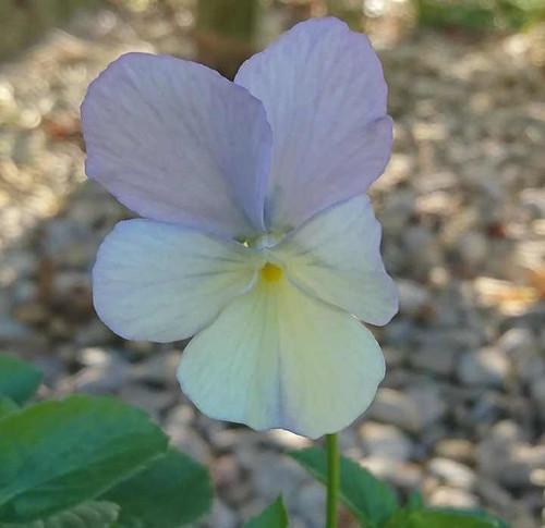 Viola cornuta 'Gypsy Moth'
