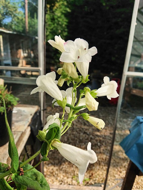 Penstemon 'Snowstorm'