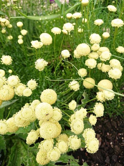 Santolina rosmarinifolia subsp. rosmarinifolia