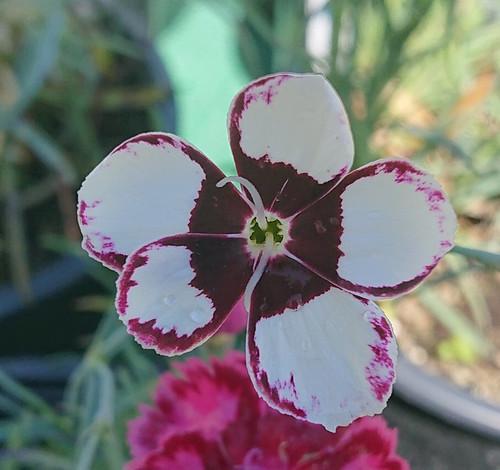 Dianthus 'Elizabethan Pink'
