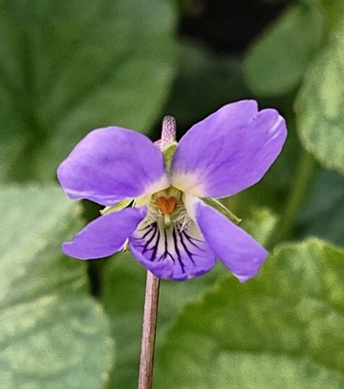 Viola odorata 'Empress Augusta'