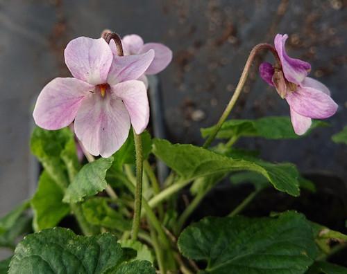 Viola odorata 'Orchid Pink'