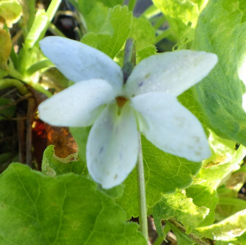 Viola odorata 'St. Wite'