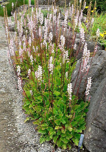 Francoa sonchifolia