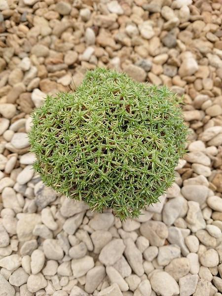 Dianthus erinaceus var. alpinus