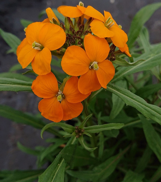 Erysimum × marshallii