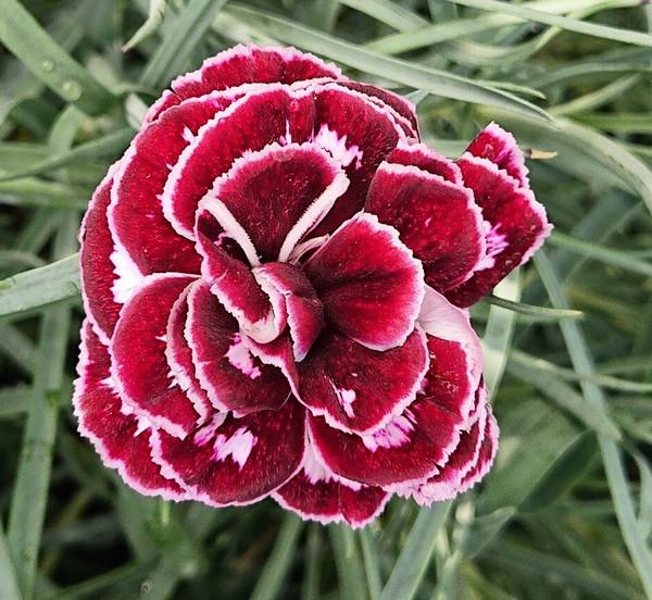 Dianthus 'Old Velvet'