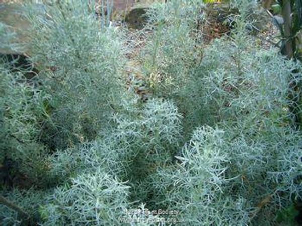 Artemisia alba 'Canescens'
