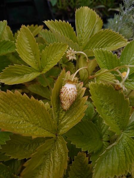 Fragaria 'White Delight' (White Strawberry)