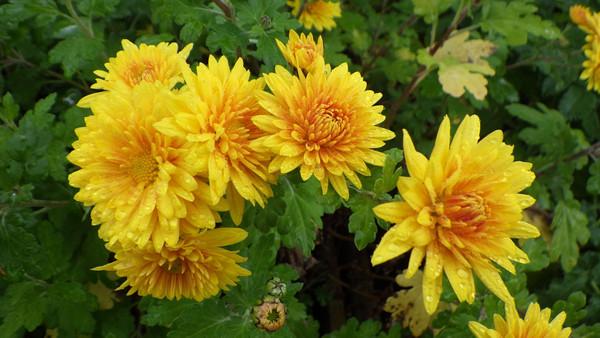 Chrysanthemum 'Spartan Canary'