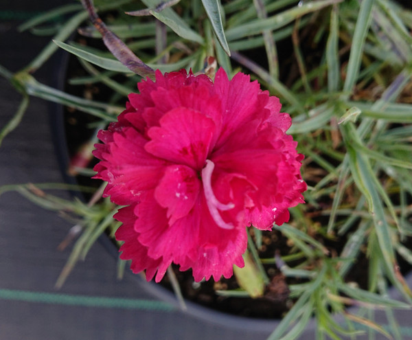 Dianthus 'Bat's Double Red'